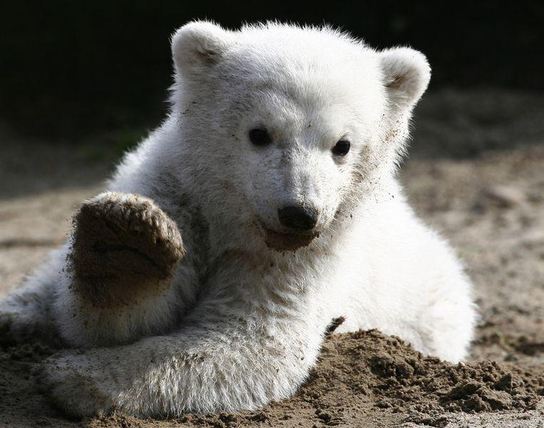 Knut in 2007. Beeld ap