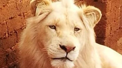 Uiterst zeldzame witte leeuw wordt geveild zodat trofeejagers hem kunnen doodschieten