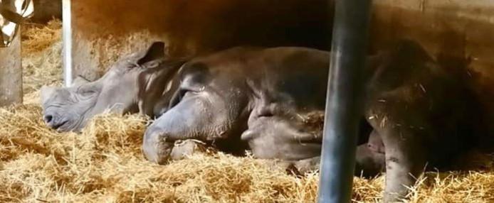 Le rhinocéros noir Jacob est décédé le 31 décembre dernier à 28 ans