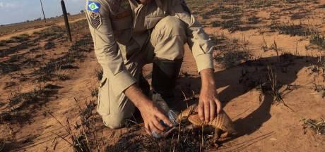 Brandweerman geeft dorstig gordeldier water na verwoestende brand Amazone