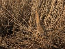 Moerasvogels keren terug in rietmoerassen van de Biesbosch