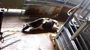 """Animal Rights waarschuwt voor """"vlees van zieke en gewonde koeien in Belgische winkelrekken"""""""