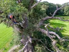 Dikste boom van Nederland krijgt een fikse beurt