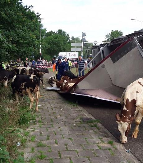 VIDEO: Twee stieren overleden na kantelen vrachtwagen op Rietveldenweg Den Bosch; afrit A59 weer vrij