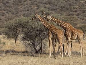 La sécheresse force la Namibie à vendre ses animaux sauvages