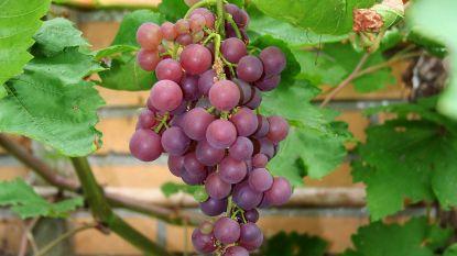 Iedereen kan druiven telen