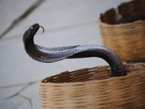 Après la dengue, le paludisme et la Covid, il survit à une morsure de cobra