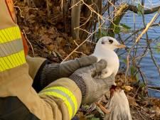 Brandweer redt aan visdraad bungelende meeuw in Doesburg