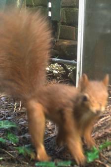 Eekhoorn weet de camera's te vinden in Winterswijk