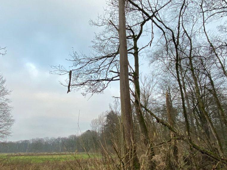 Het stuk schors van de populier hangt nog steeds in een andere boom na de blikseminslag.