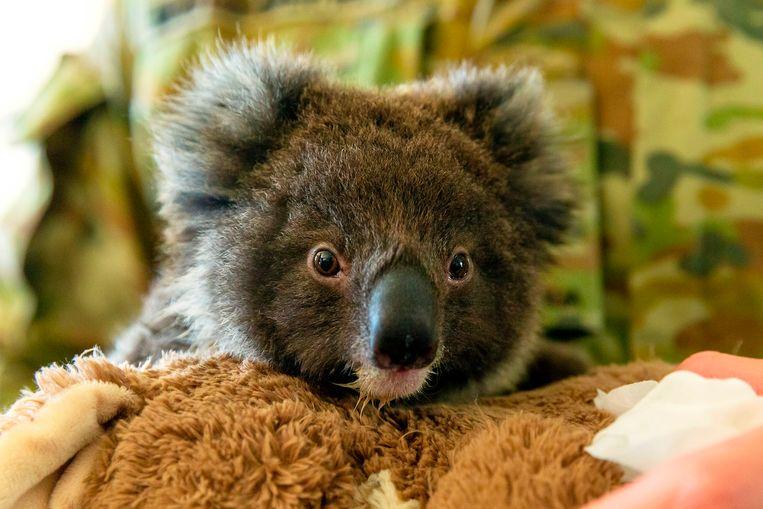 Een koala in Kangaroo Island.