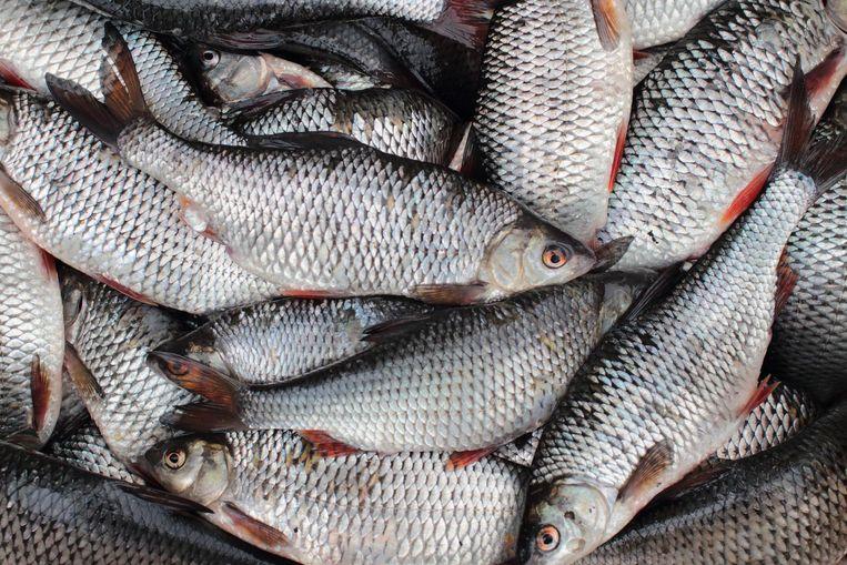 Eén op vijf mannelijke zoetwatervissen, zoals deze voorn, bleek in Groot-Brittannië verhoogde vrouwelijke kenmerken te hebben.