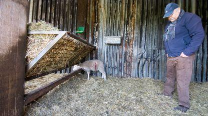 Lammetje overleeft wolvenaanval in Peer, vier andere doodgebeten