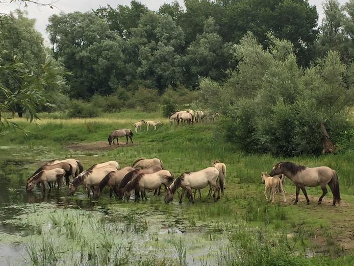 Konikpaarden in de Gendtse Waard.