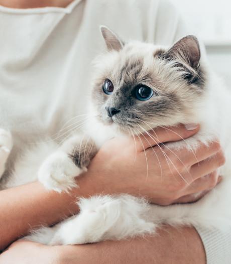 Bientôt un nouveau vaccin pour stopper l'allergie aux chats?