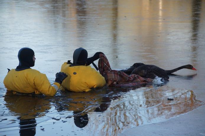 De zwaan wordt in een deken gewikkeld om uit het ijs te kunnen halen.