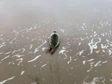 Oproep Dierenambulance: Laat zeehond op het strand met rust