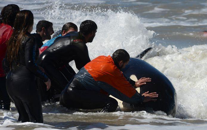 Vrijwilligers trachtten deze week een groep van zeven gestrande orka's te redden in Argentinië. Ze konden worden teruggeduwd in zee, eentje overleefde het niet.