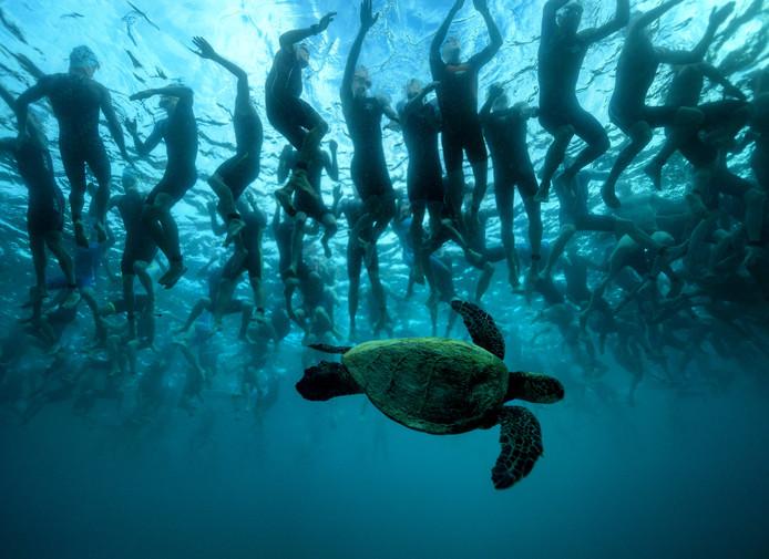 Wow! Triatleten bij de Ironman van Hawaii hebben geen oog voor de reuzenschildpad onder hen.