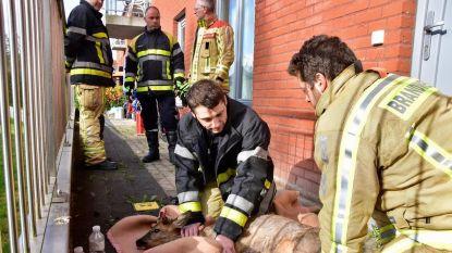 Jong bokje raakt klem tussen omheining, maar brandweer snelt ter hulp