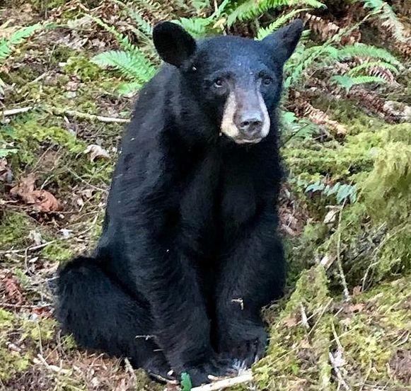 De zwarte beer in kwestie was twee à drie jaar oud.