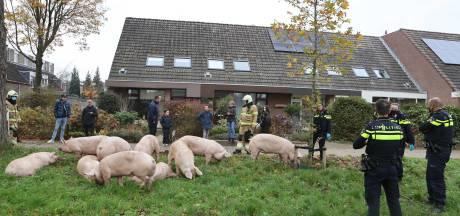 Nieuwsoverzicht   Wijken op slot door vuurwerkoverlast - Vrachtauto met varkens gekanteld