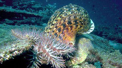 Hoe bizar ook: deze reusachtige slak kan het Great Barrier Reef redden