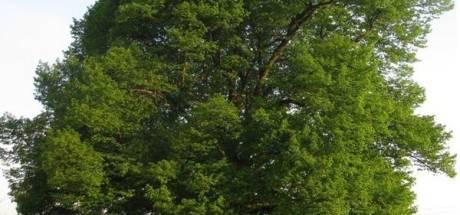 Bewoners te hoop tegen overlastgevende lindebomen
