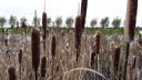 De lisdodde groeit gewoon aan de slootkant in het veenweidegebied.