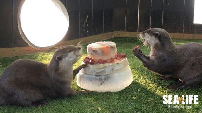 VIDEO. 25-jarige Sea Life viert zonder bezoekers, en dus verdelen de dieren de taart