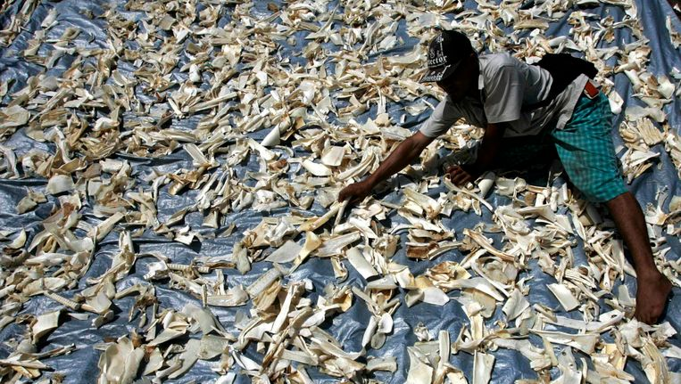 Haaienvinnen, bestemd voor de Chinese markt, worden gedroogd in Banyuwangi, Indonesië. Beeld REUTERS