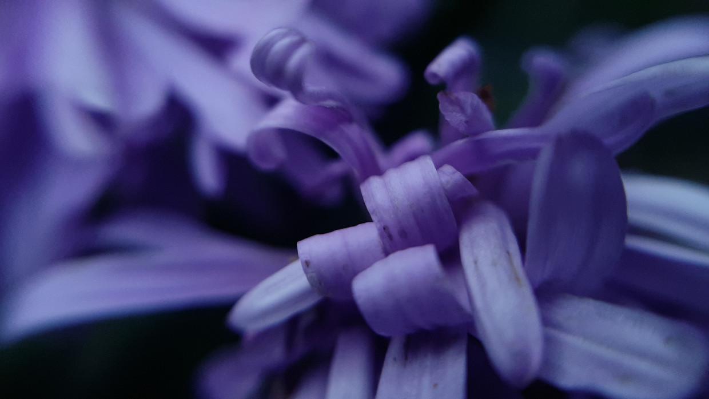 Herfstaster Beeld Fleur Wiersma