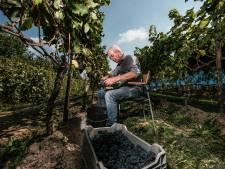 Druiven plukken en wijn maken is pure hobby