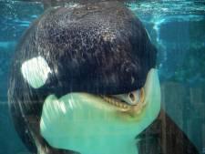 Rechtszaak over zwangere orka Morgan: 'Loro Parque schendt alle regels'