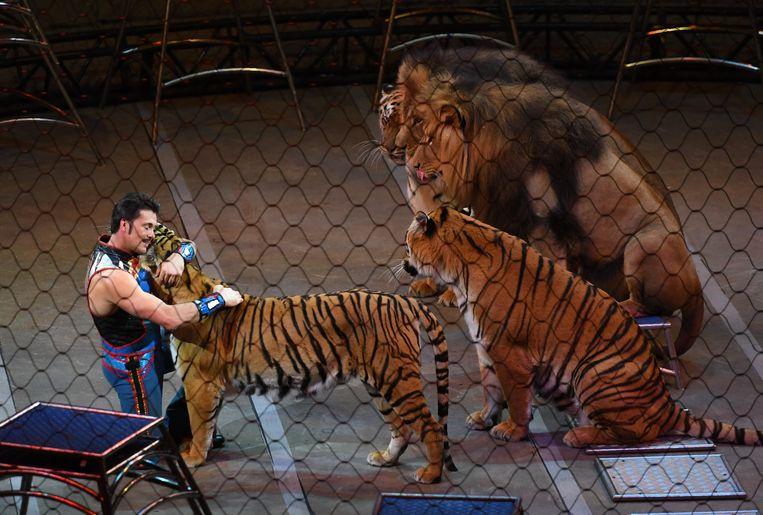 Een tijger krijgt een knuffel tijdens de laatste show van het Ringling Bros. and Barnum & Bailey Circus. Beeld AFP