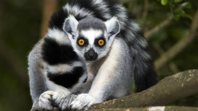 Lemuren op uitsterven door hongerige jagers