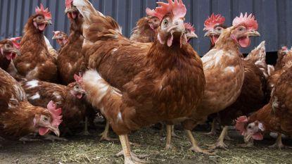 Dief steelt kippen en eenden aan visput en buitenverblijf