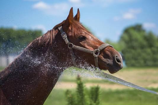 Hou je paard goed koel door hem bijvoorbeeld nat te houden