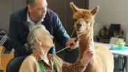 Alpaca James bezoekt bewoners woonzorgcentrum Klateringen samen met andere dieren op Werelddierendag