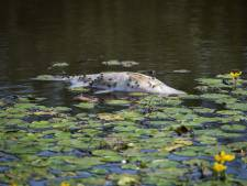 Stikkende vissen in Wijhe zijn voer voor reigers, óf ze worden ze gered door hengelsporters