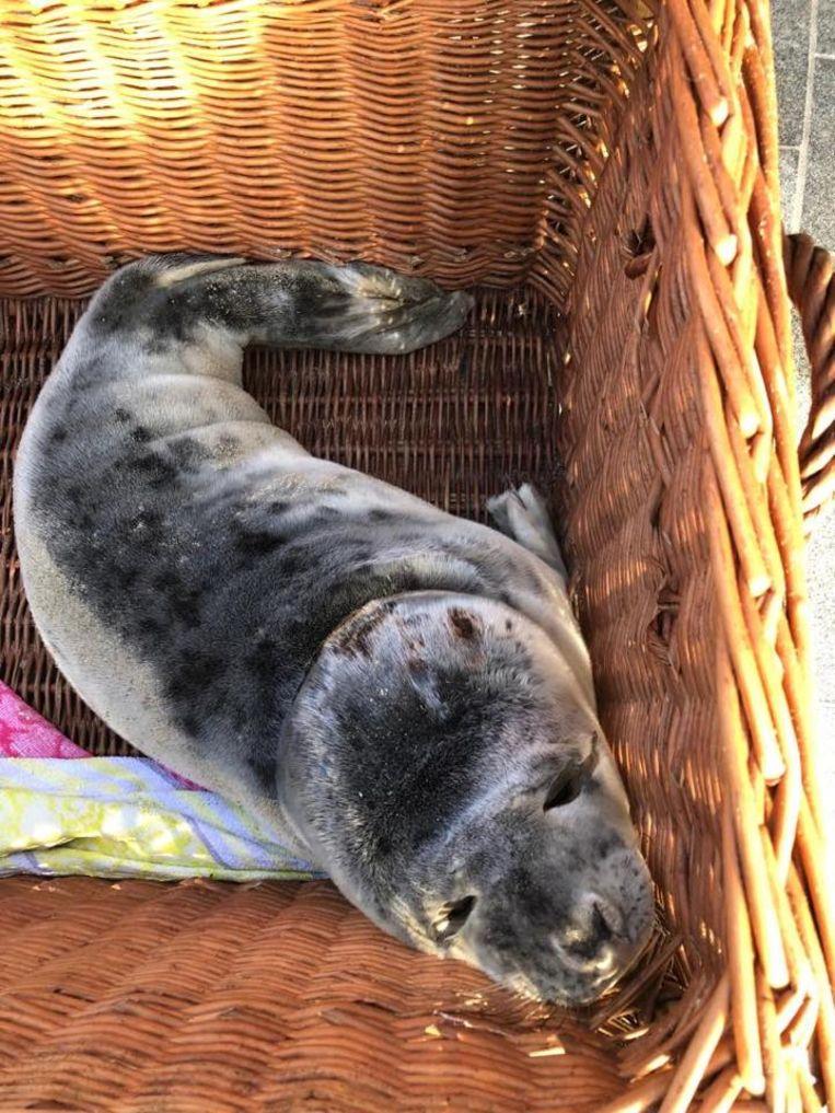 Deze zeehond werd op 3 februari gevonden in Nieuwpoort en komt weer op krachten in Sea Life Blankenberge.