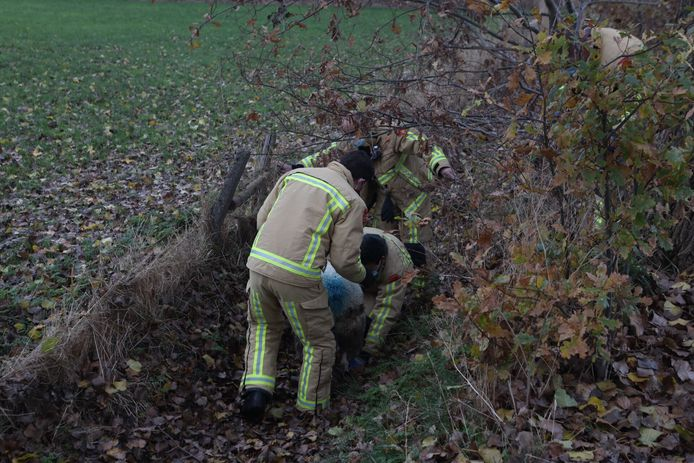Vier brandweermannen redden het schaap uit de sloot in Best.