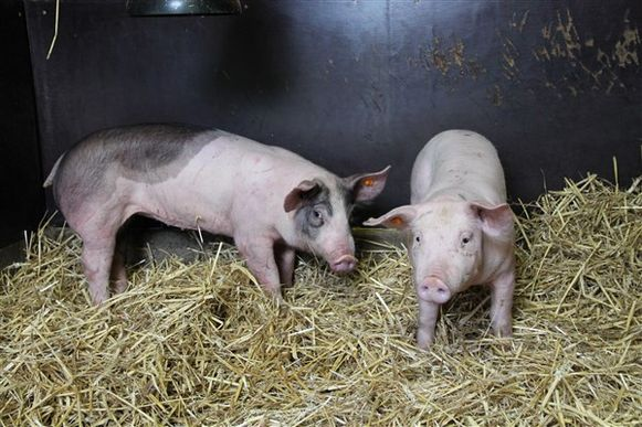 De nieuwe varkens van Kinderboerderij Rivierenhof.