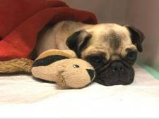 Het gaat beter met Lola het Dordtse mopshondje dat ernstig gewond gevonden werd