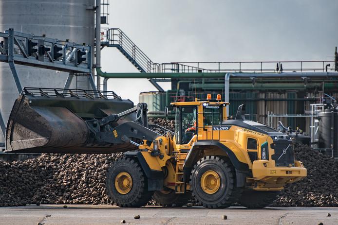 Geoogste suikerbieten worden verzameld bij de suikerfabriek.