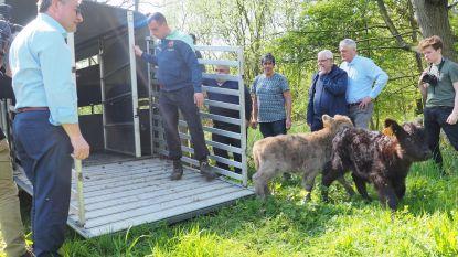 Minister laat galloways en 2,5 miljoen euro los op natuur