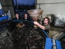 Meelwormen uit Achterhoekse schuren: 'Het heeft een hoge voedingswaarde met eiwit'