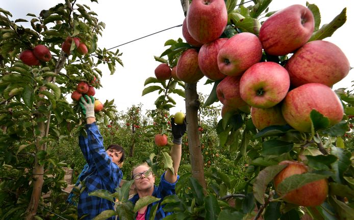 Poolse vrouwen plukken (in 2017) Jonagold appels bij fruitteeltbedrijf Budding uit Lienden.