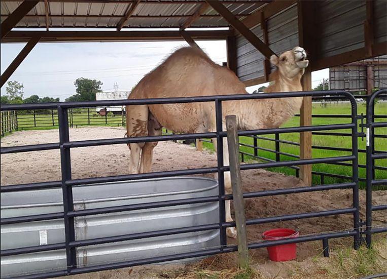 De betrokken dromedaris 'Caspar The Camel'.