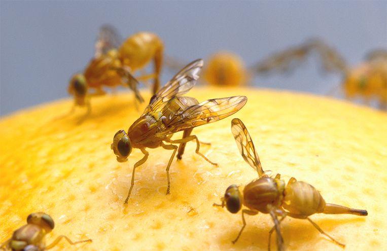 zo geraak je af van die vervelende fruitvliegjes | wetenschap